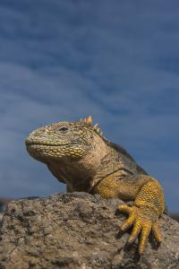 Galapagos Land Iguana, South Plaza Island, Galapagos Islands, Ecuador by Pete Oxford