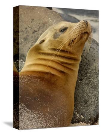 Galapagos Sea Lion, Gardner Bay, Espaola Island, Galapagos Islands, Ecuador