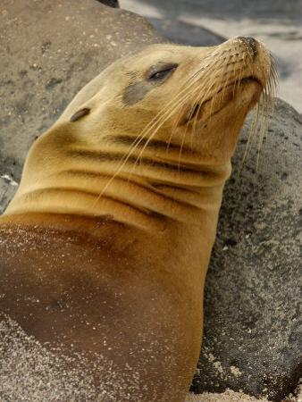 Galapagos Sea Lion, Gardner Bay, Espaola Island, Galapagos Islands, Ecuador by Pete Oxford