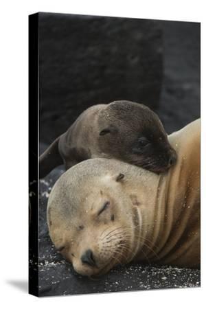 Galapagos Sea Lion Mom and New Pup, Rabida Island, Galapagos, Ecuador