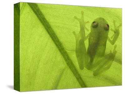 Glass Frog, Amazonia, Se Ecuador