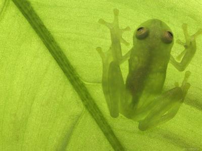 Glass Frog, Amazonia, Se Ecuador by Pete Oxford