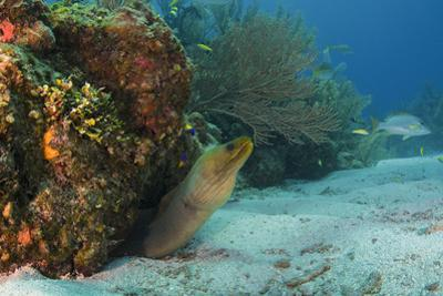 Green Moray, Hol Chan Marine Reserve, Ambergris Caye, Belize by Pete Oxford