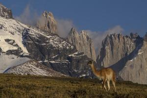 Guanaco with Cordiera del Paine in Back, Patagonia, Magellanic, Chile by Pete Oxford