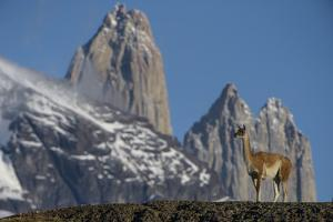 Guanaco with Cordiera del Paine, Torres del Paine, Patagonia, Chile by Pete Oxford