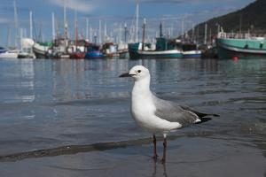 Hartlaubs Gull, Hout Bay Harbor, Western Cape, South Africa by Pete Oxford
