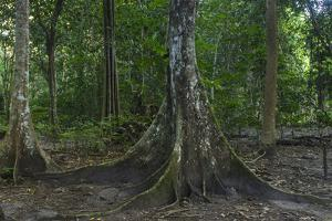 Ivi (Fiji Chestnut) Tree, Fiji by Pete Oxford