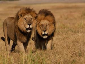 Lions, Duba Pride Males, Duba Plains, Okavango Delta, Botswana by Pete Oxford