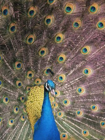 Male Common Peafowl, Displaying, Trowunna Widlife Park, Tasmania by Pete Oxford