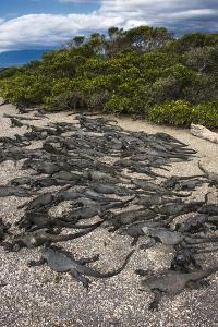 Marine Iguana, Fernandina Island, Galapagos Islands, Ecuador by Pete Oxford