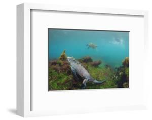 Marine Iguana Underwater, Fernandina Island, Galapagos, Ecuador by Pete Oxford