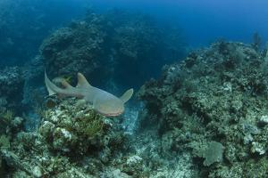 Nurse Shark, Hol Chan Marine Reserve, Belize by Pete Oxford