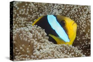 Orange-Finned Anemone Fish. Close to Host Anemone for Protection, Fiji by Pete Oxford