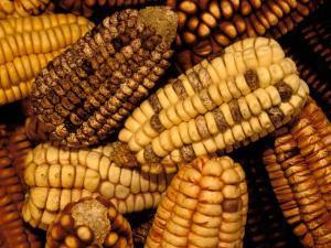 Peruvian Corn, Peru by Pete Oxford