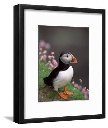 Puffin Portrait, Great Saltee Is, Ireland