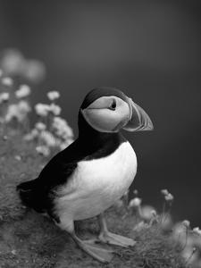 Puffin Portrait, Great Saltee Is, Ireland by Pete Oxford