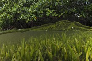 Red Mangrove and Turtle Grass, Lighthouse Reef, Atoll, Belize by Pete Oxford