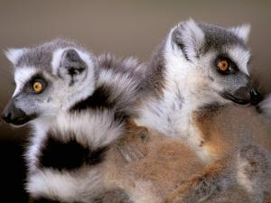 Ring-tailed Lemurs, Berenty Private Reserve, Madagascar by Pete Oxford