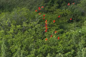 Scarlet Ibis, Shell Beach, North Guyana by Pete Oxford