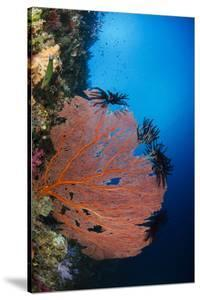 Sea Fan (Gorgonia) and Feather Star (Crinoidea), Rainbow Reef, Fiji by Pete Oxford
