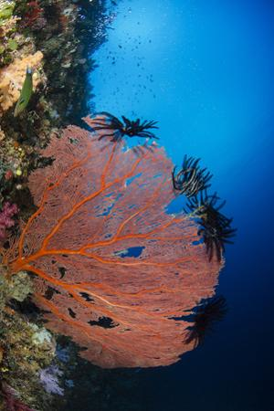 Sea Fan (Gorgonia) and Feather Star (Crinoidea), Rainbow Reef, Fiji by Pete Oxford