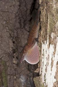 Slender Anole, Yasuni NP, Amazon Rainforest, Ecuador by Pete Oxford