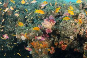 Soft Coral and Reef Fish, Aliwal Shoal, KwaZulu-Natal, South Africa by Pete Oxford