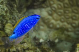 South Seas Devil Damselfish, Coral Reef, Koro Island, Fiji by Pete Oxford