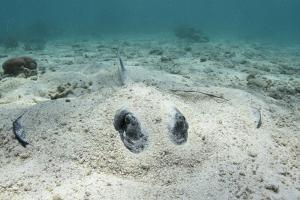Southern Stingray, Belize Barrier Reef, Belize by Pete Oxford