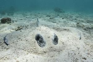 Southern Stingray, Belize Barrier Reef, Belize by Pete Oxford
