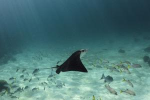 Spotted Eagle Ray, Hol Chan Marine Reserve, Belize by Pete Oxford