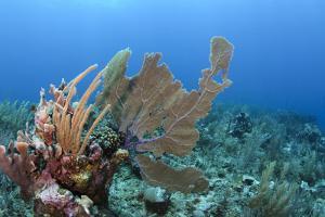 Venus Sea Fan, Hol Chan Marine Reserve, Coral Reef Island, Belize Barrier Reef. Belize by Pete Oxford