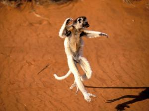 Verreaux's Sifaka, Berenty, Madagascar by Pete Oxford