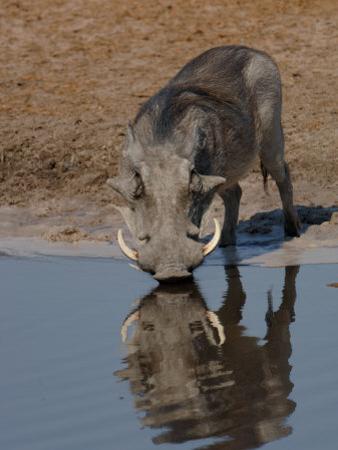 Warthog, Savuti Channal, Botswana