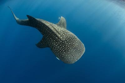 Whale Shark, Cenderawasih Bay, West Papua, Indonesia