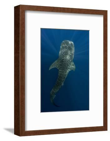 Whale Shark, Cenderawasih Bay, West Papua, Indonesia