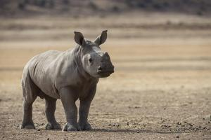 White Rhinoceros Calf, Great Karoo, Private Reserve, South Africa by Pete Oxford