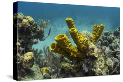 Yellow Tube Sponge, Lighthouse Reef, Atoll, Belize Barrier Reef, Belize