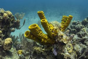 Yellow Tube Sponge, Lighthouse Reef, Atoll, Belize Barrier Reef, Belize by Pete Oxford