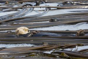 A Sleeping Sea Otter, Enhydra Lutris, Floats in a Field of Bull Kelp by Pete Ryan