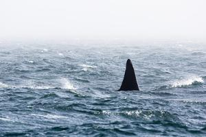Dorsal Fin of a Large Male Killer Whale, Orcinus Orca by Pete Ryan