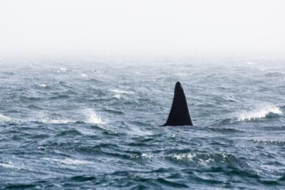 Dorsal Fin of a Large Male Killer Whale, Orcinus Orca