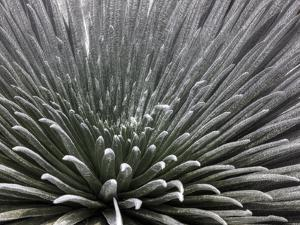 Endangered Haleakala Silversword on the Floor of Haleakala Crater by Pete Ryan