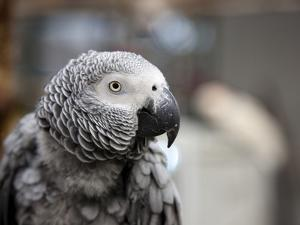 Portrait of an African Grey Parrot (Psittacus Erithacus) by Pete Ryan