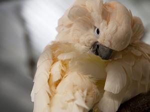 Preening Moluccan Cockatoo (Cacatua Moluccensis), World Parrot Refuge by Pete Ryan