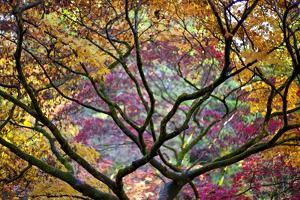 Autumn Leaves, Westonbirt Arboretum, Gloucestershire, England, UK by Peter Adams