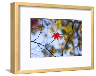 Autumn Leaves, Westonbirt Arboretum, Gloucestershire, England, UK