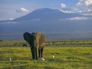 Elephant, Mt. Kilimanjaro, Masai Mara National Park, Kenya by Peter Adams