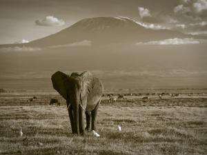 Elephant, Mt. Kilimanjaro, Masai Mara National Park, Kenya by Peter Adams