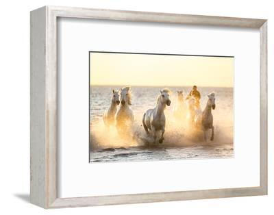 Gardian, Cowboy and Horseman of the Camargue with Running White Horses, Camargue, France